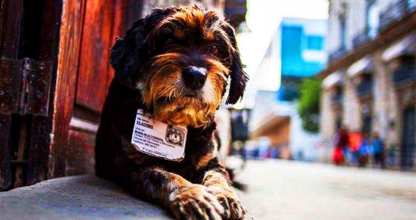 Havanamazing: Dogs with ID!?
